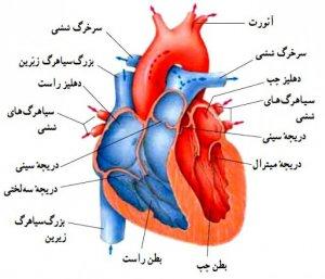 آناتومی عروق کرونر قلب